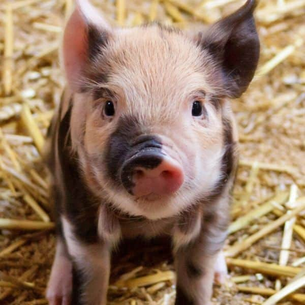 picture of a baby pig shown to emphasize going vegan for animals